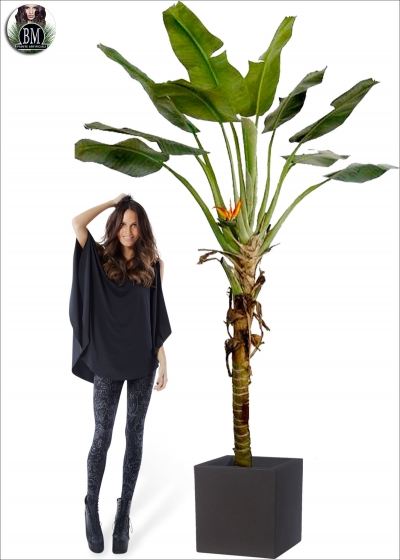 Banano Plant Maxi