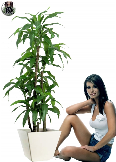 Dracena Fragrans H.115cm