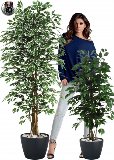 Ficus Benjamin Medium Varie Altezze