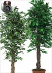 Ficus Elegance  new Liana Trunks varie Dimensioni