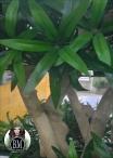 JP Podocarpus Japan Verde h.185 cm