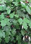 Oak Quercia medium varie Altezze