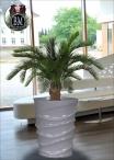 Palma Cycus h.90 cm