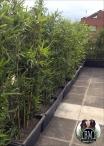 Bambu - 5-6 Canne u.v. rasistant varie altezze
