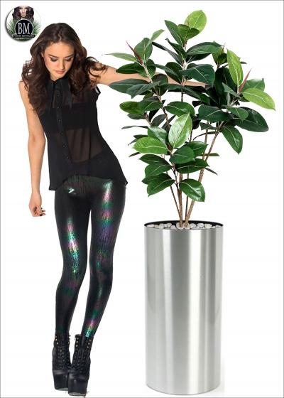 Ficus Elastic due Altezze
