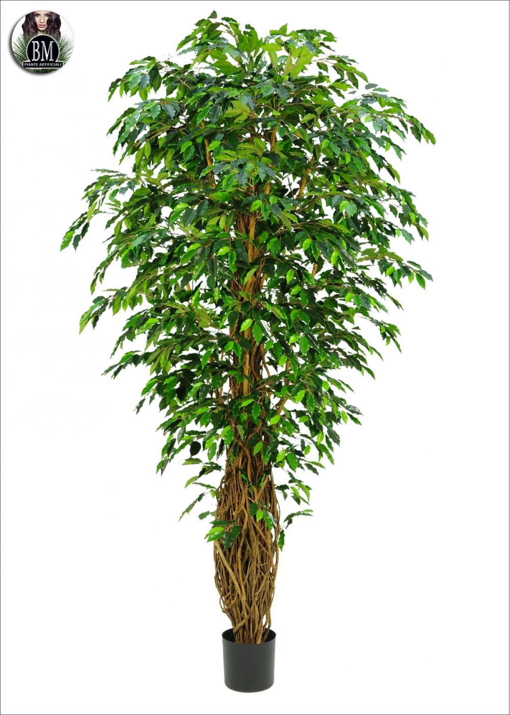 Awesome Ficus Benjamin Verde Tronco Intrecciato H. 190cm