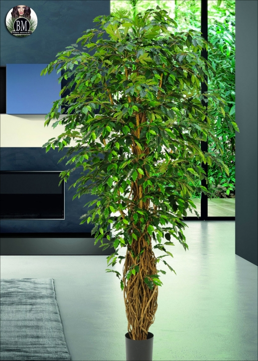 Captivating Ficus Benjamin Verde Tronco Intrecciato H. 190cm