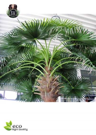 WASHINGTONIA PALM Gigante da H. 5Mt a 9,7Mt  (SU RICHIESTA)