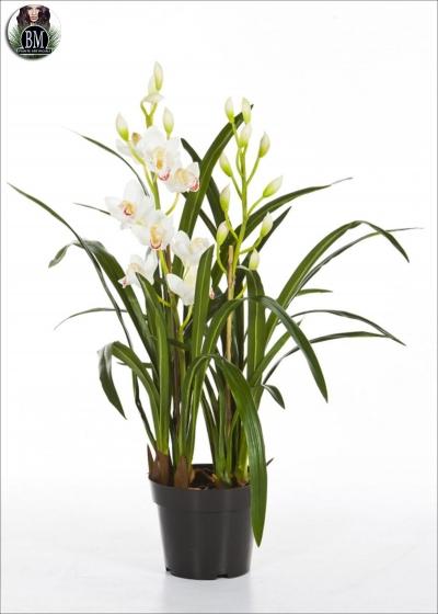 Cymbidium orchid h. 80cm