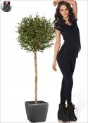 Olive Natural Ball H. 140cm