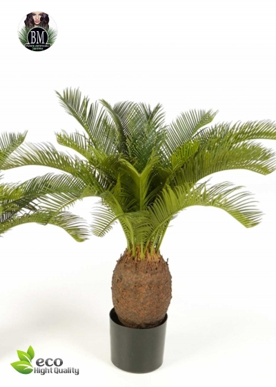 Cycas plant 2 Misure