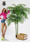 Areca palm de luxe 2 Misure -2 TRONCHI