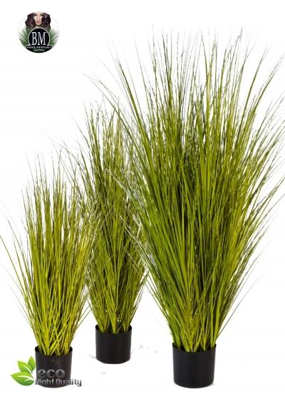 Miscanthus Gold Grass 3 Misure