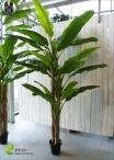 BANANA Plant  New tre misure