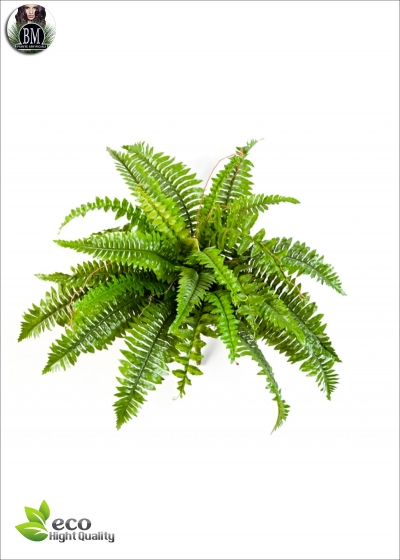 Felce Bush Boston x31 Diam. - 60cm