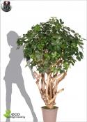 SCHEFFLERA  TREE TOBO due altezze