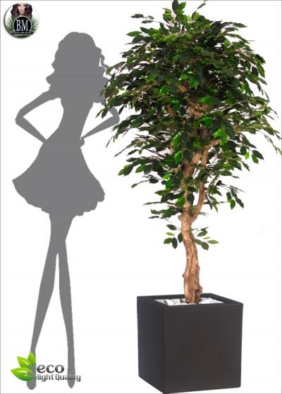 Ficus Elegance MED  VERDE due altezze
