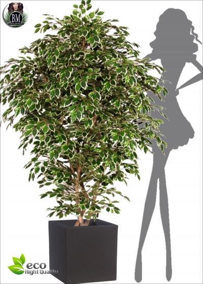 Ficus Exotica Boschetto disp. due altezze