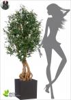 Olive Trunk tree H.150cm