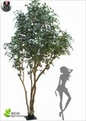 Ficus Benjamin Gigantea LUX h.500cm