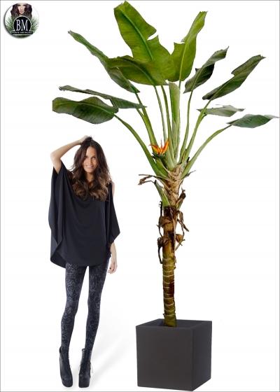 Banano Palm Paradise Maxi