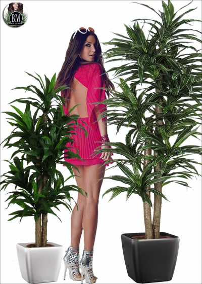 Dracaena Big Natural 2 Trunks two Heights