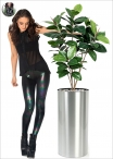 Ficus Elastic two heights