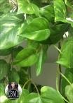 Mini Ivy Green H.270cm