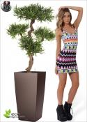 Podocarpus mountain tree H. 110 cm