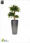 Ficus Benjamin Lux H.150cm