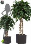 Eucalypthus Gunnii Crown H.150cm